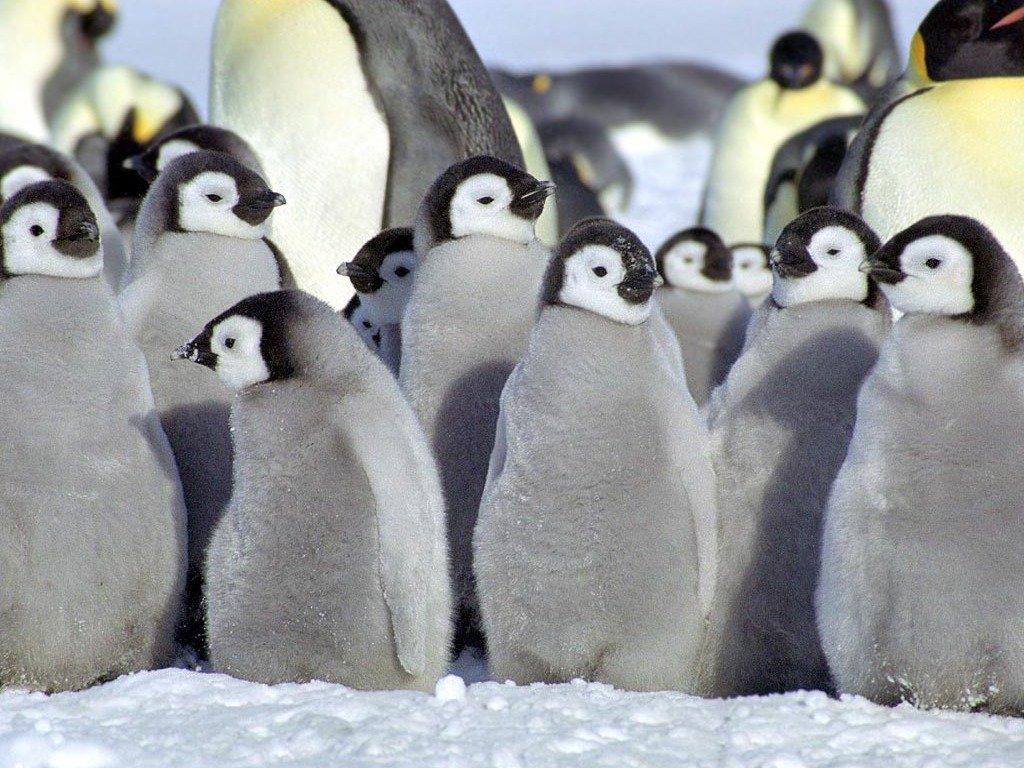 Детеныши пингвинов картинки