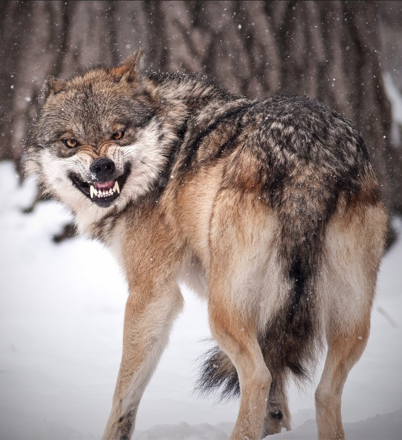 Настоящий волчий оскал