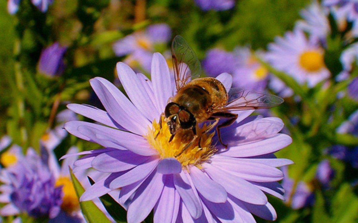 Картинки пчелок на цветах