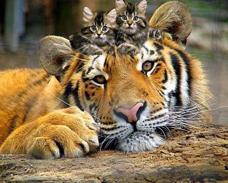 В то же время, тигры из одной «семьи» достаточно дружелюбны друг к другу и порой очень забавно ведут себя во время общения: касаются мордами, трутся полосатыми боками, шумно и энергично «фыркая», выдыÑая при этом Ð²Ð¾Ð·Ð´ÑƒÑ Ñ‡ÐµÑ€ÐµÐ· пасть или нос.
