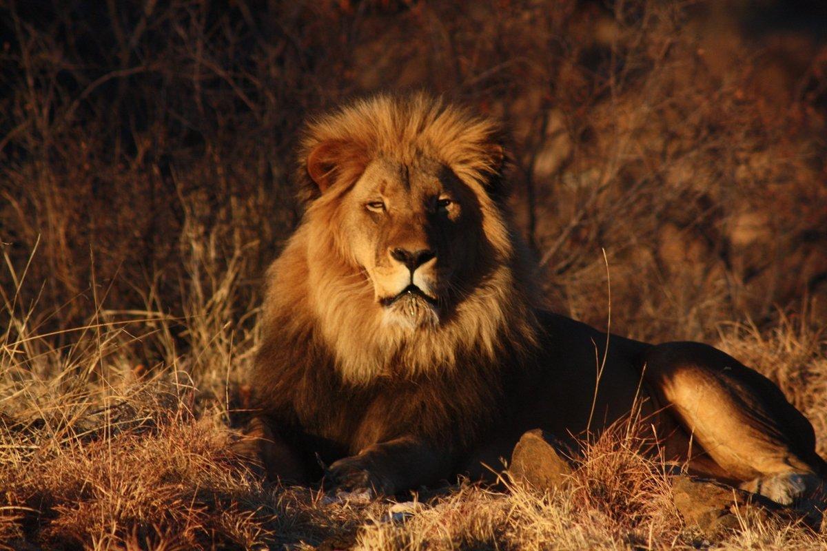 хорошая картинка льва самом деле