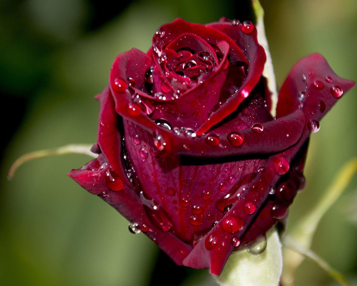 экипаж уволился розы бордо в картинках смазанность