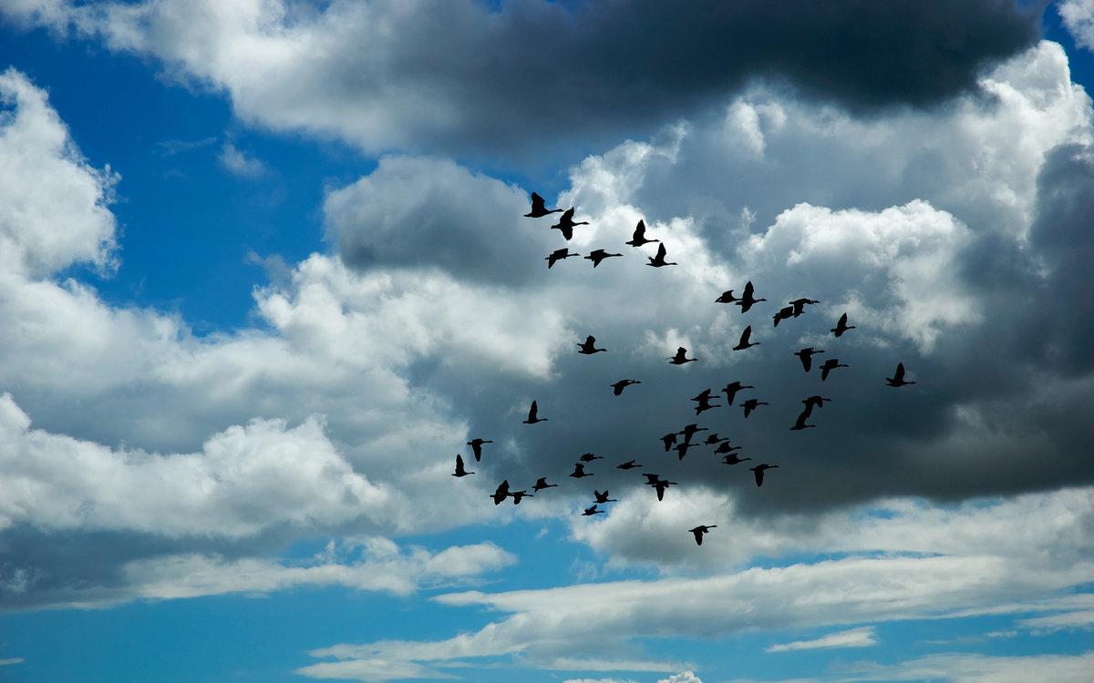 Птицы летят стаей картинка