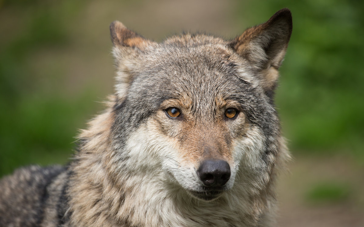 картинки волк высокое разрешение что многие красивые