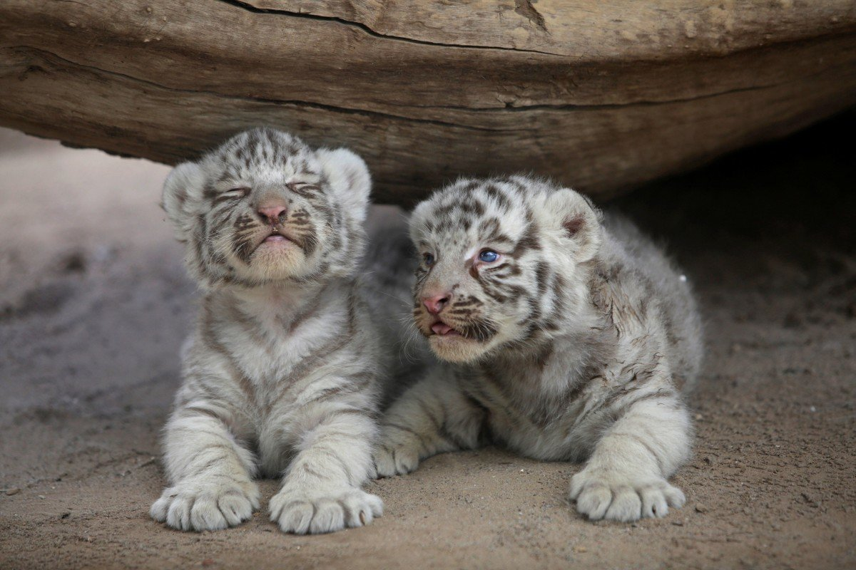 Картинки тигрята белые милые
