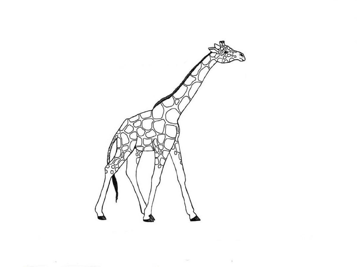 жираф картинка простая крупнее самок, обладают