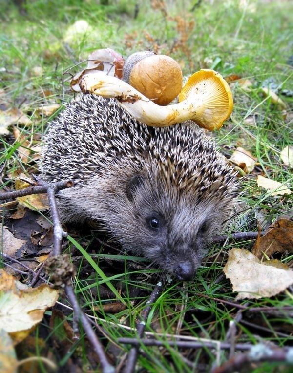 Картинка с ежами и грибами, поздравления мишками