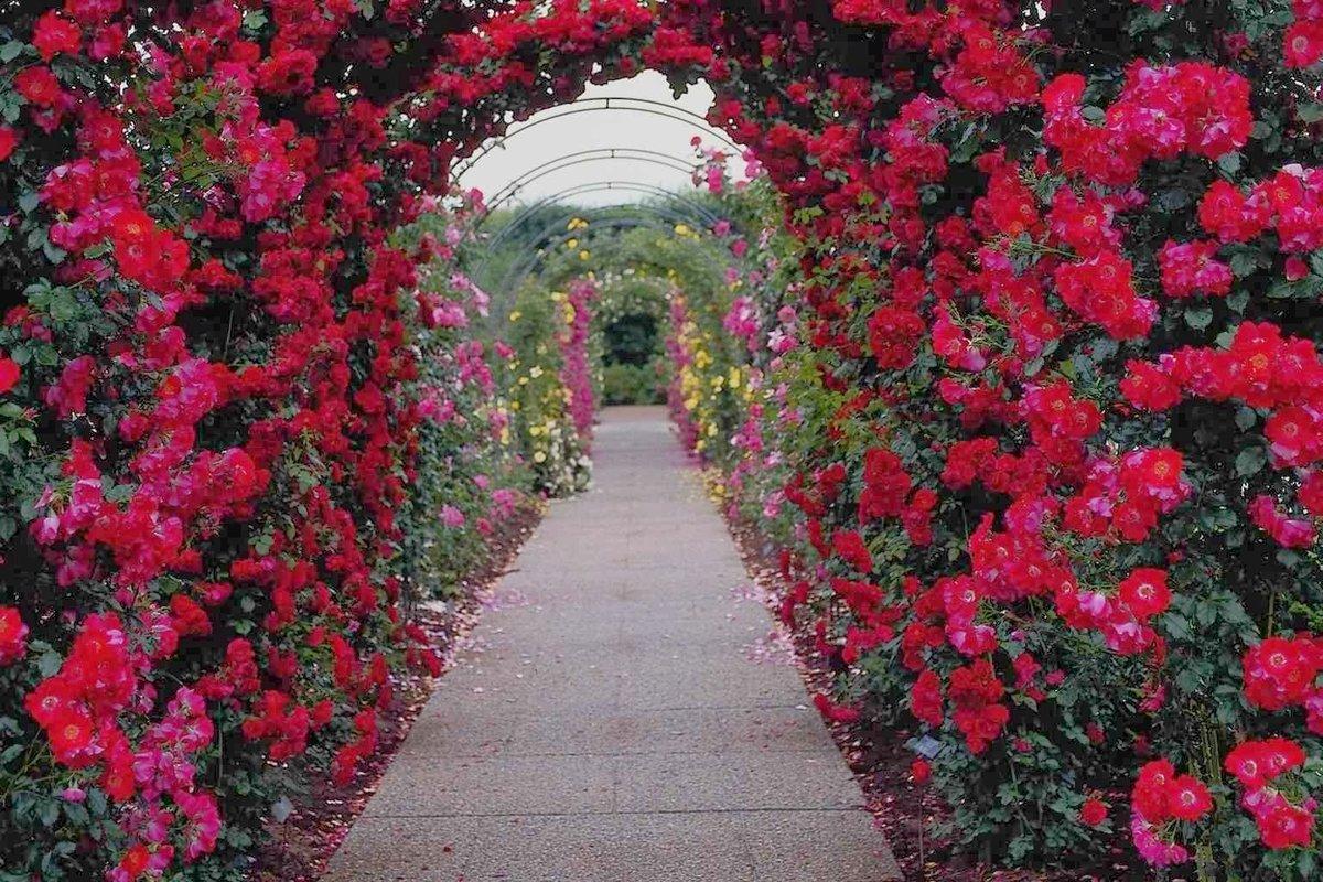 фотообои сад из красных роз того