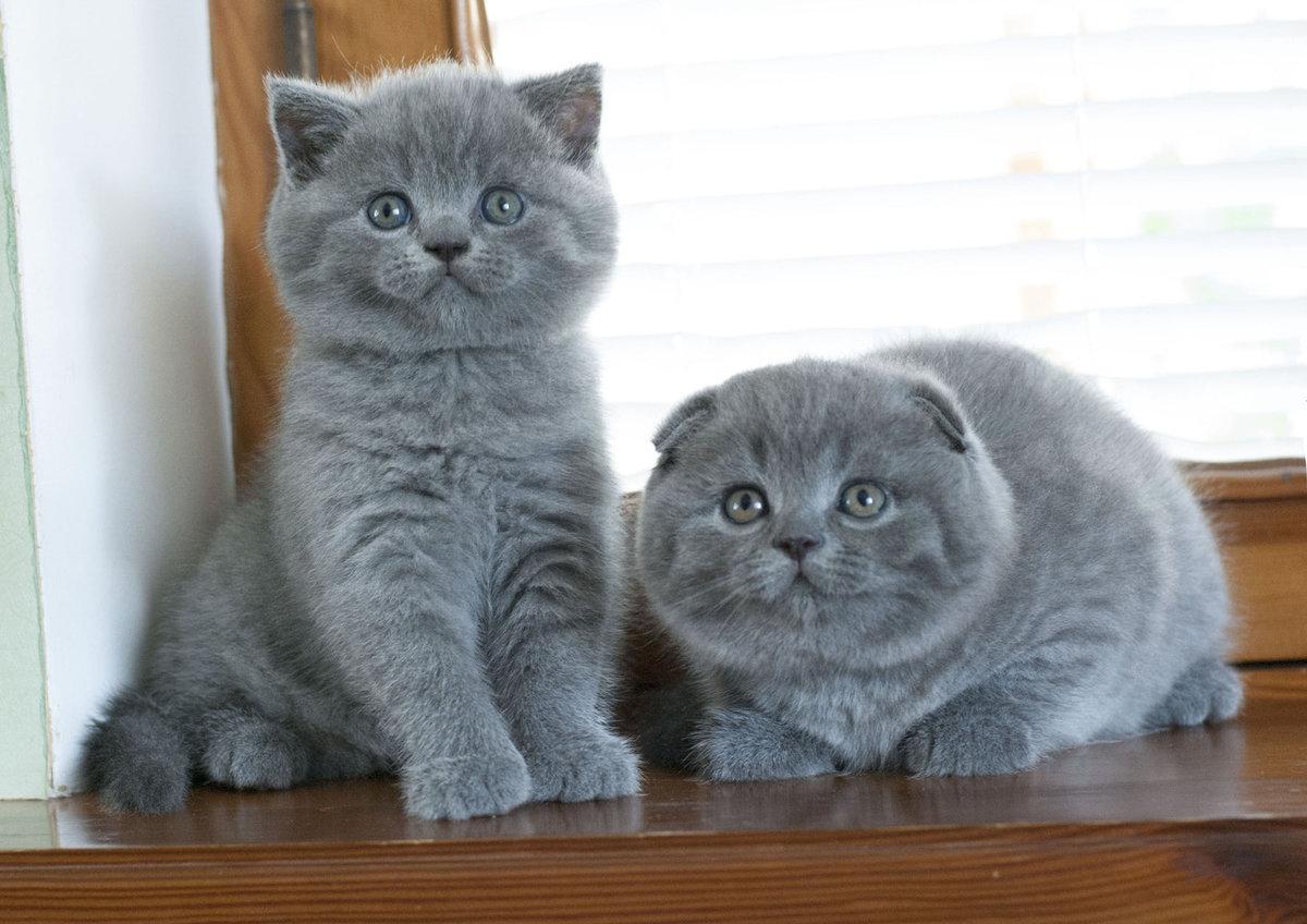 смело отличие шотландских котят от британских фото содержит символы, способствующие
