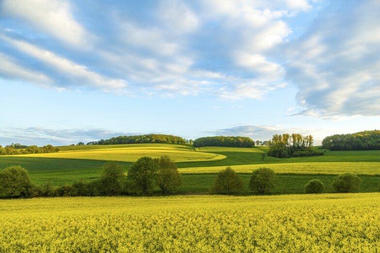 Цветущее рапсовое поле