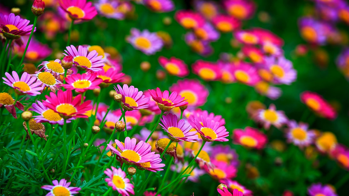 1366x768 Summer Nature Flowers Glade Desktop Wallpaper 20