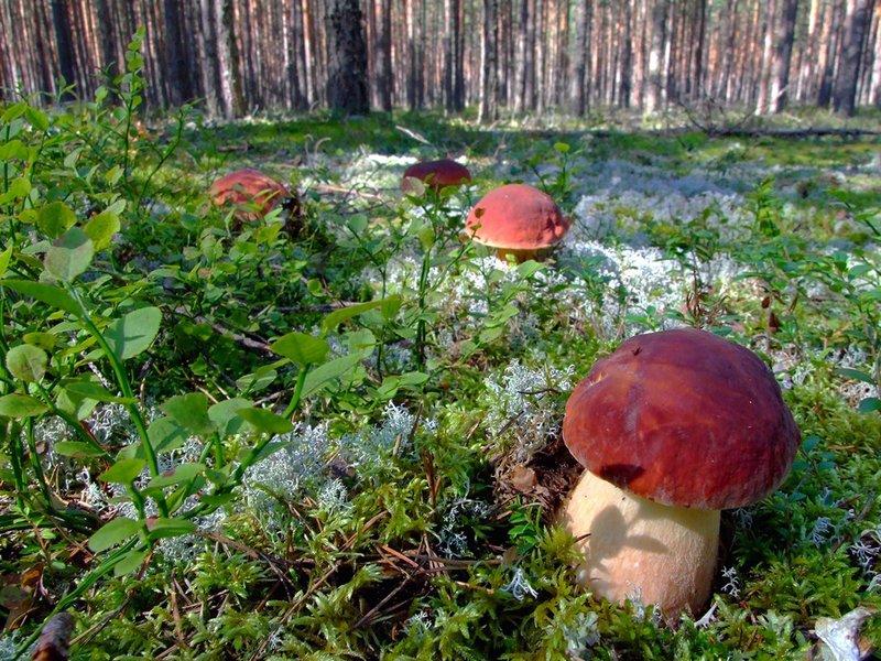 есть ли грибы в ивановской области сейчас 2017 обеспечивает высокий