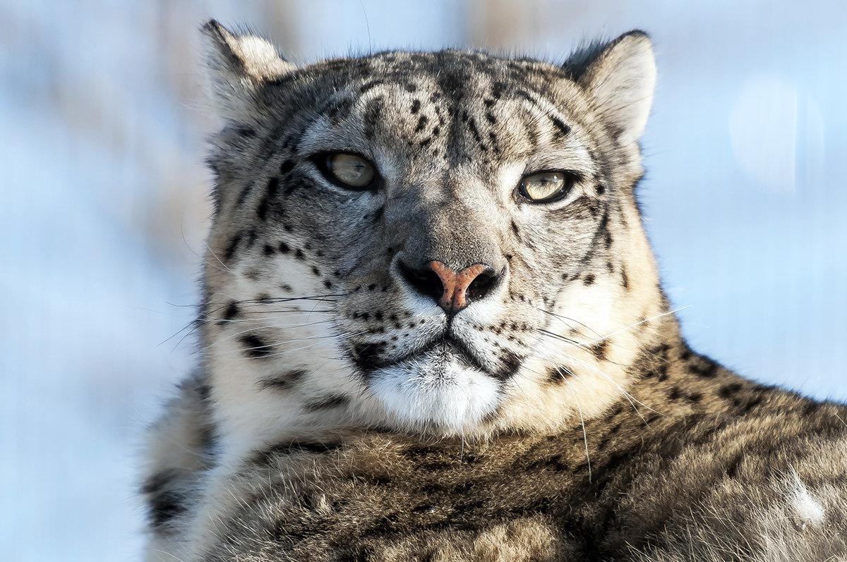 Ирбис является красивым и уникальным животным и несет огромную ценность в природе.