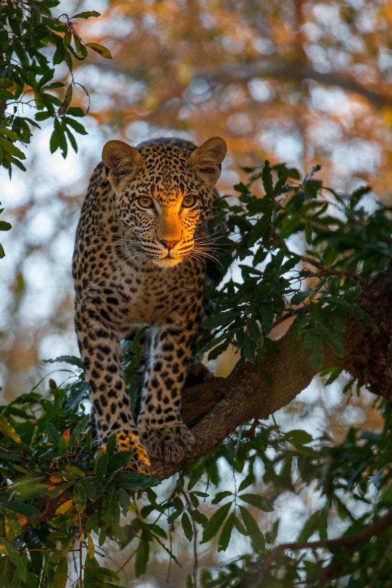 Освещенный солнцем леопард.