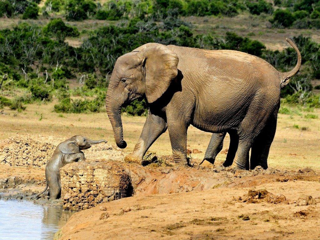 Слоненок пытается вылезти из воды