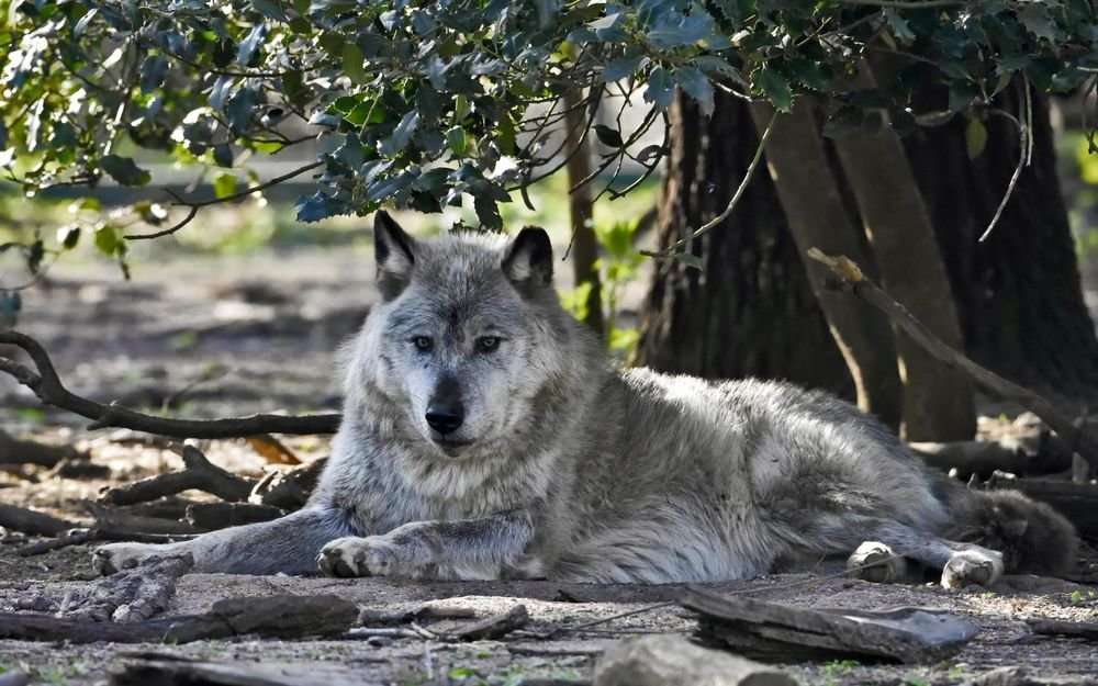 собран картинка лежащего волка недостатки