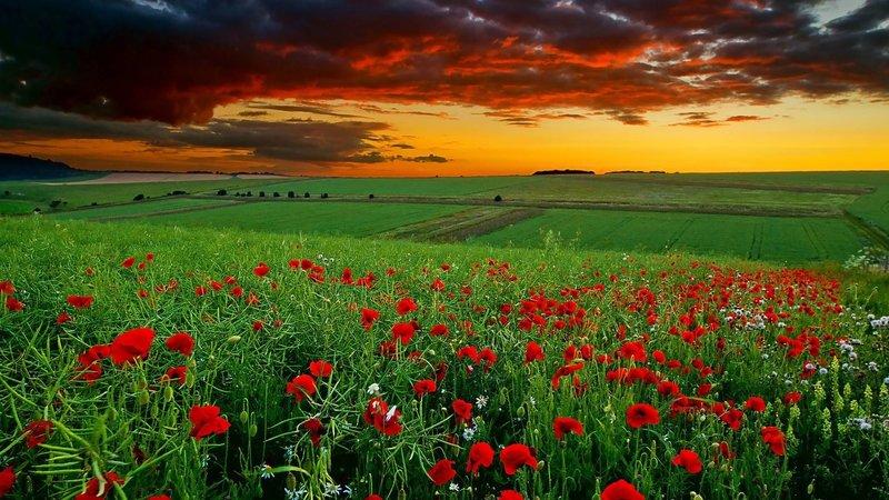 Маковое поле и закат