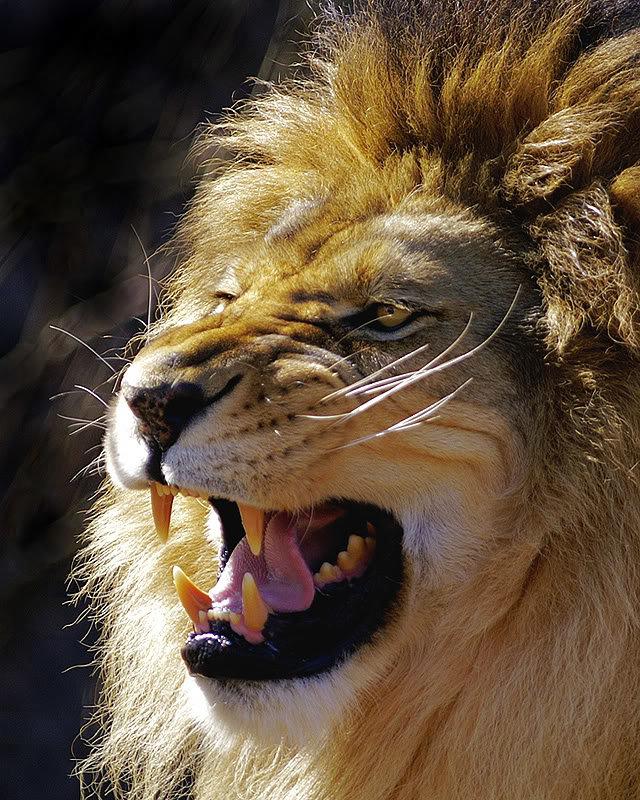 Картинки оскал лев