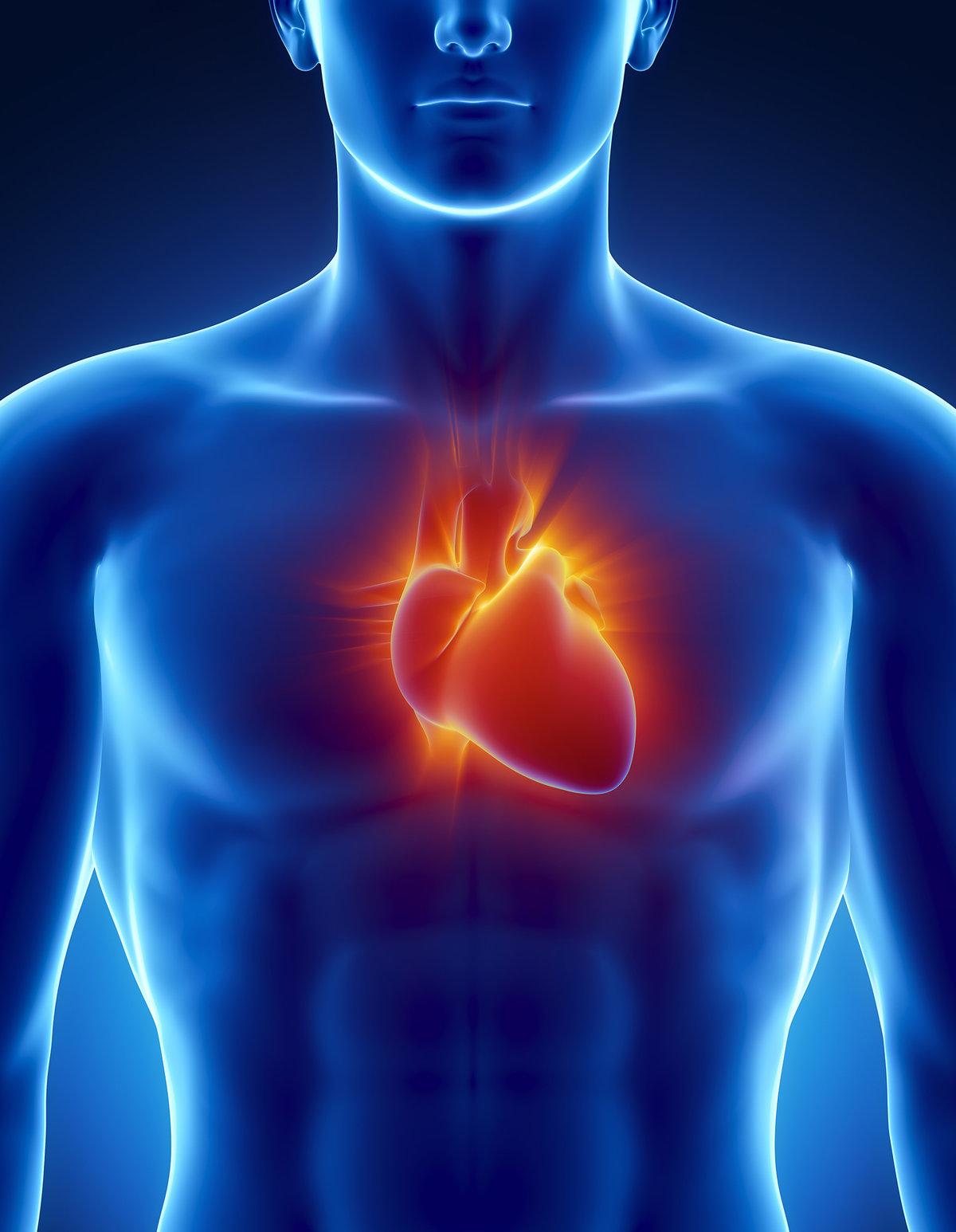 Картинка сердце человека для детей