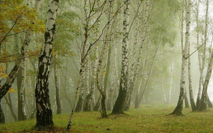 Осенняя дымка в березовой роще