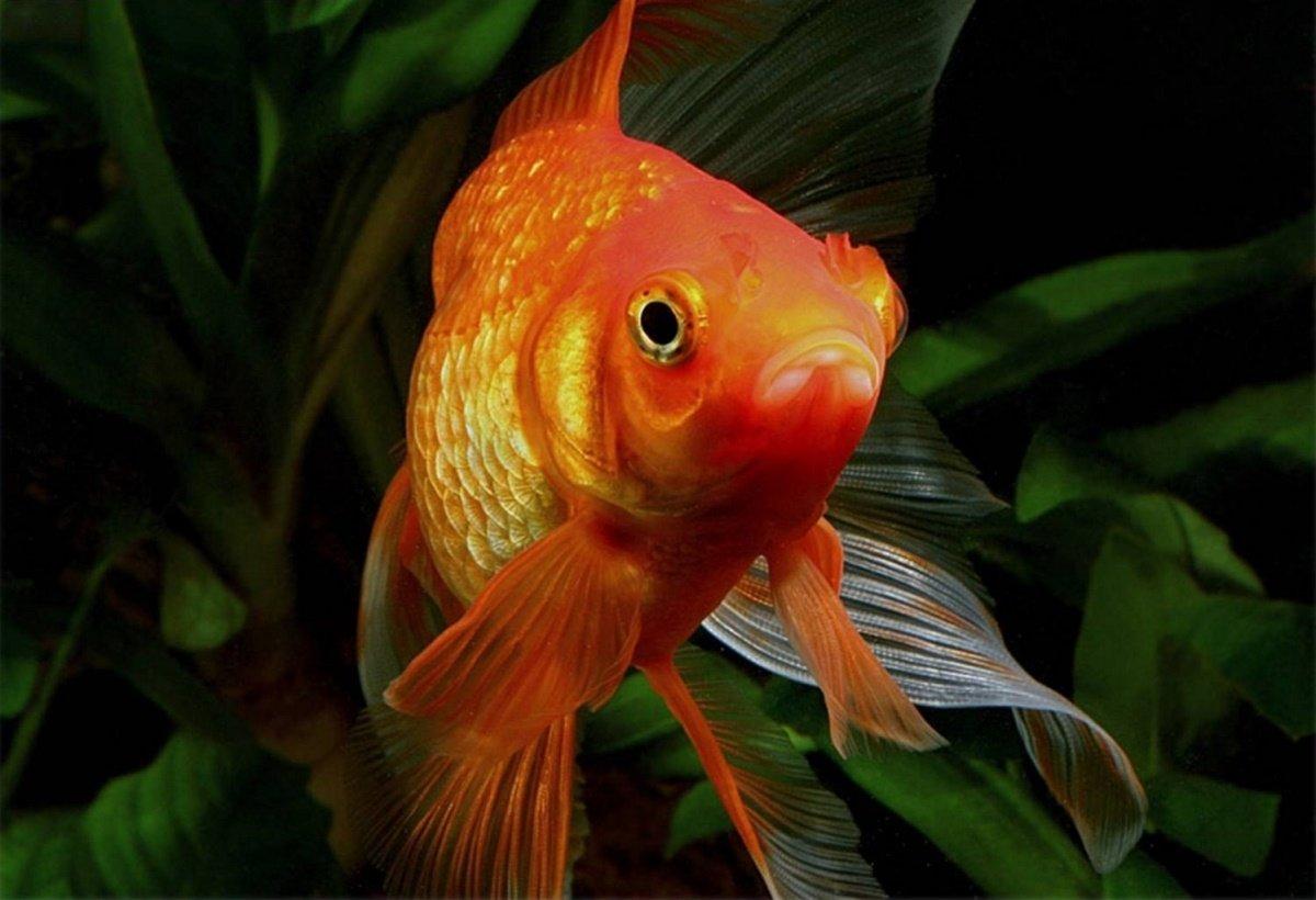 Для бывшей, картинки золотых рыбок рыбок красивые