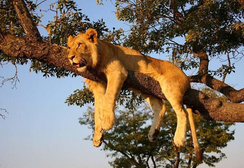 жизнь львов в дикой природе видео - 9