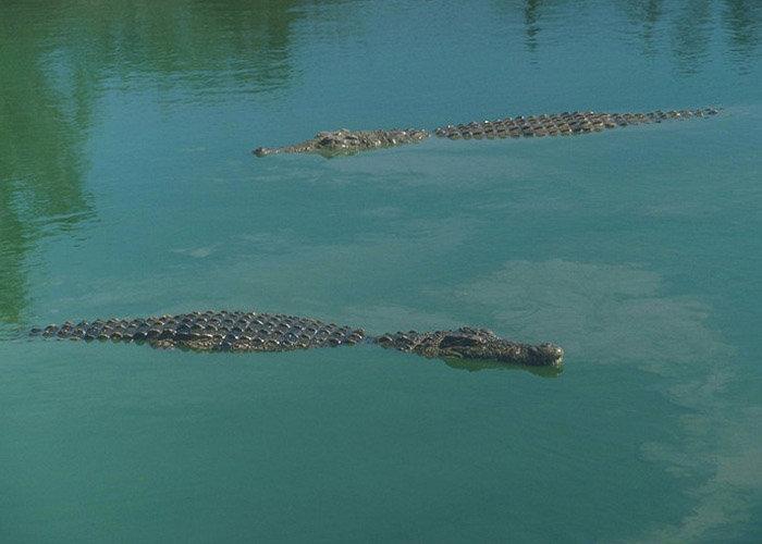 Нильский крокодил в воде плывет