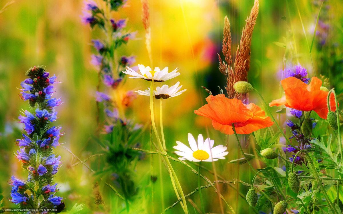 Картинки полевые цветы красивые