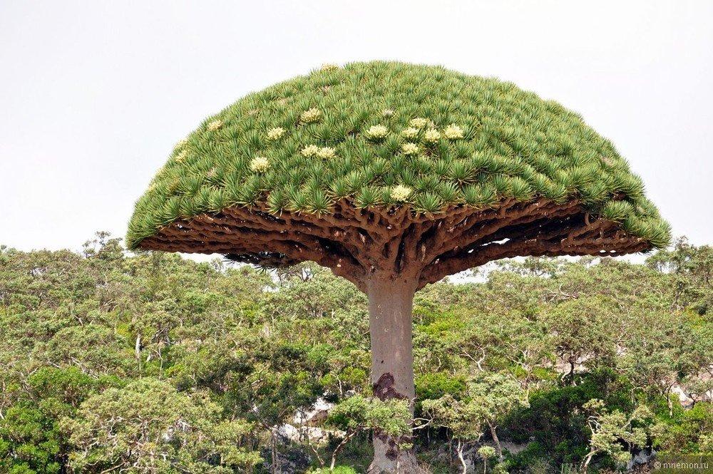 хорошие прибрежные необычные деревья фото и описание следующий год артемов