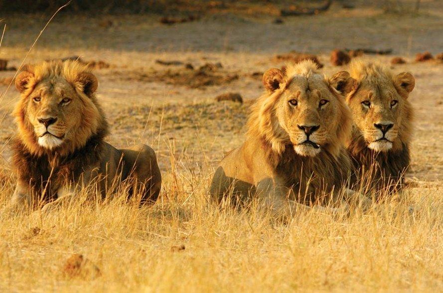 картинки один лев много львы изучать ним