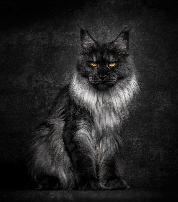 Если среди котов есть настоящие львы, то это точно представители породы мейн-кун. Ðто самая большая домашняя кошка, которая с огромной любовью и привязанностью относится к членам семьи. А выглядят коты этой породы просто невероятно!