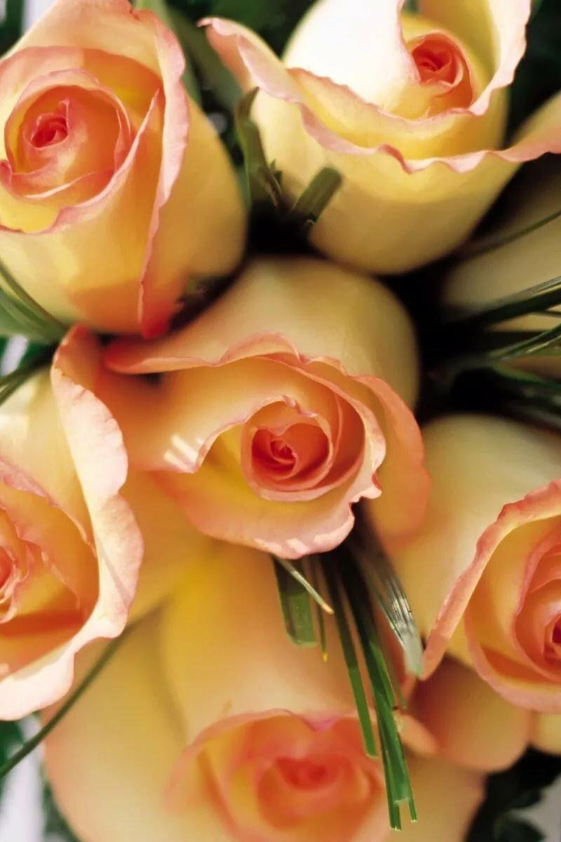 Картинки большого размера розы вертикальные