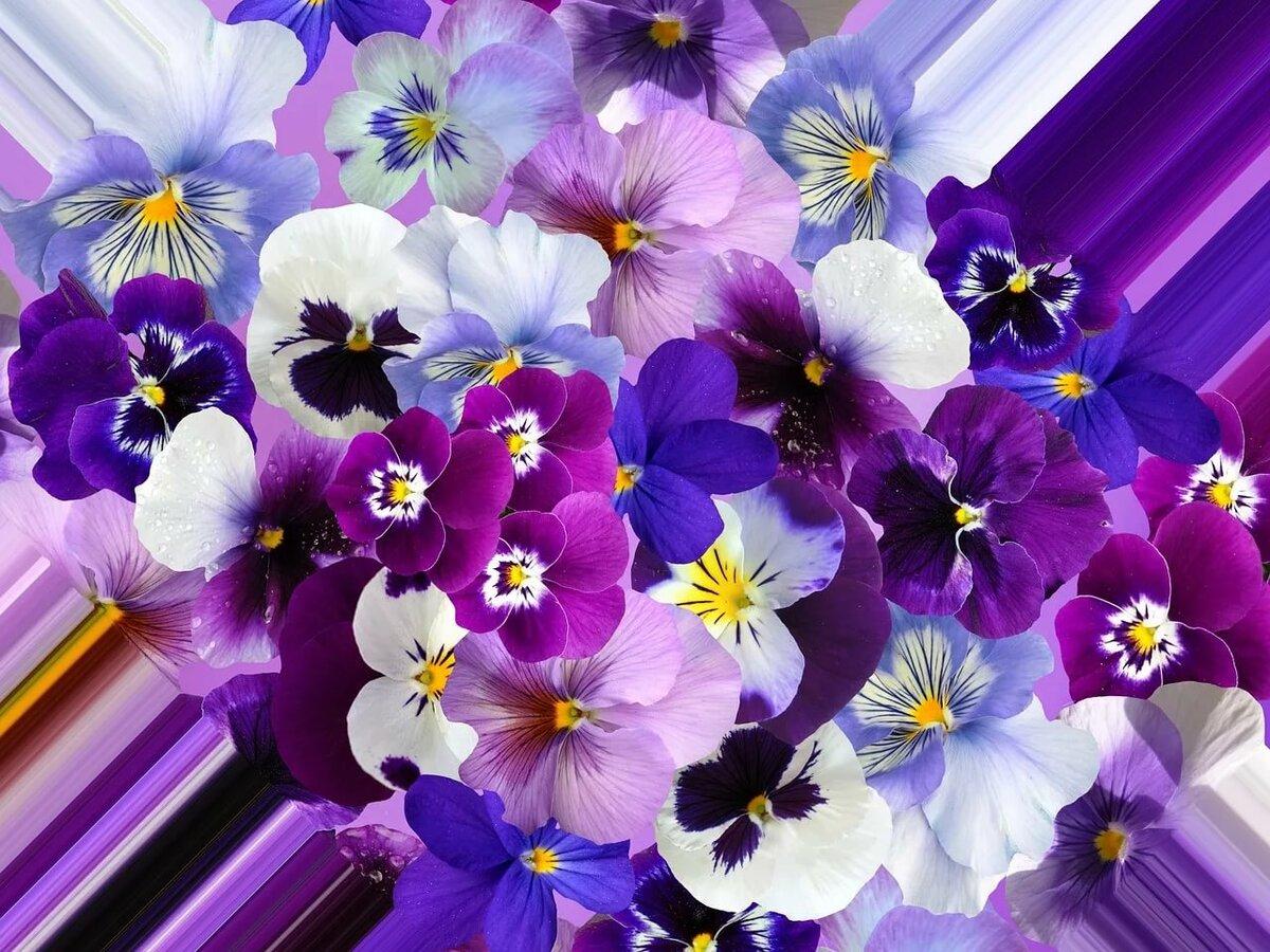 также картинки с цветами красивые фиалка хотим, чтобы