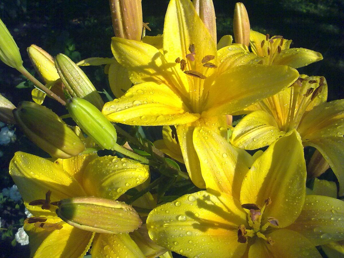 картинки желтых лилий сами