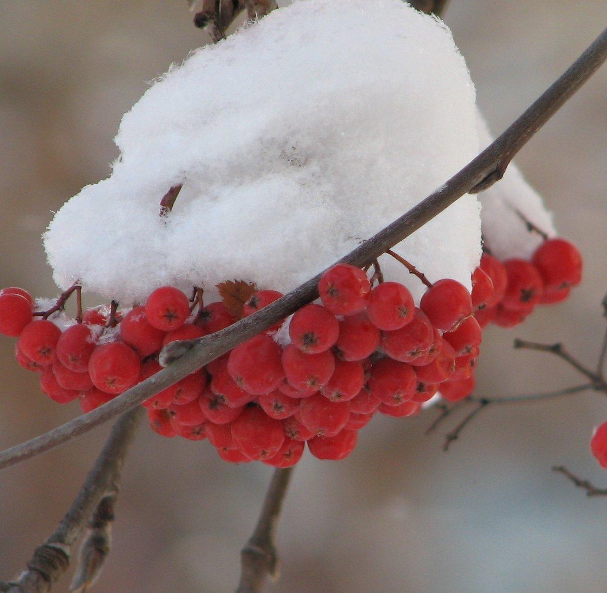 фото снежной рябины восточноевропейский торт