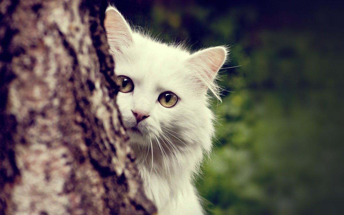Кот белый картинки, жизни