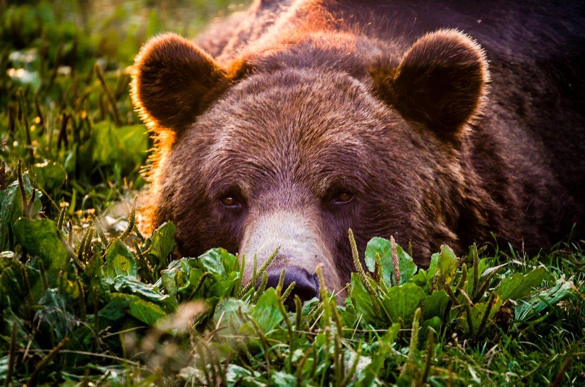 Картинки про медведя бурого, огородникам картинки