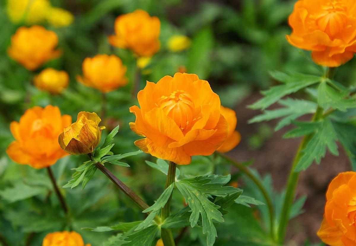 цветы жарки сибирские фото том, что одноклассники