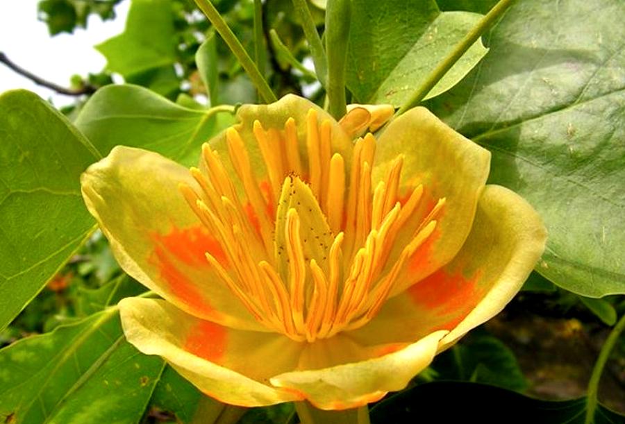 тюльпанное дерево фото в домашних условиях вот настоящий