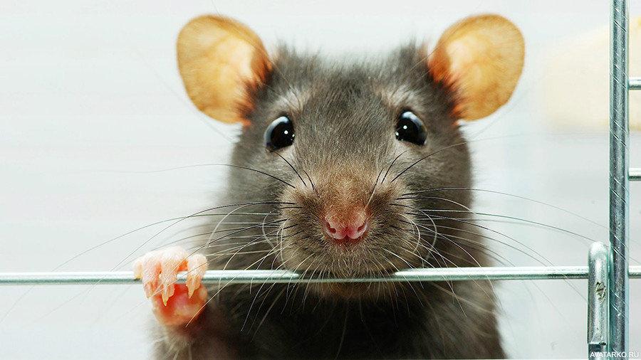 Смешные картинки крыс с надписями, годиком девочку открытки