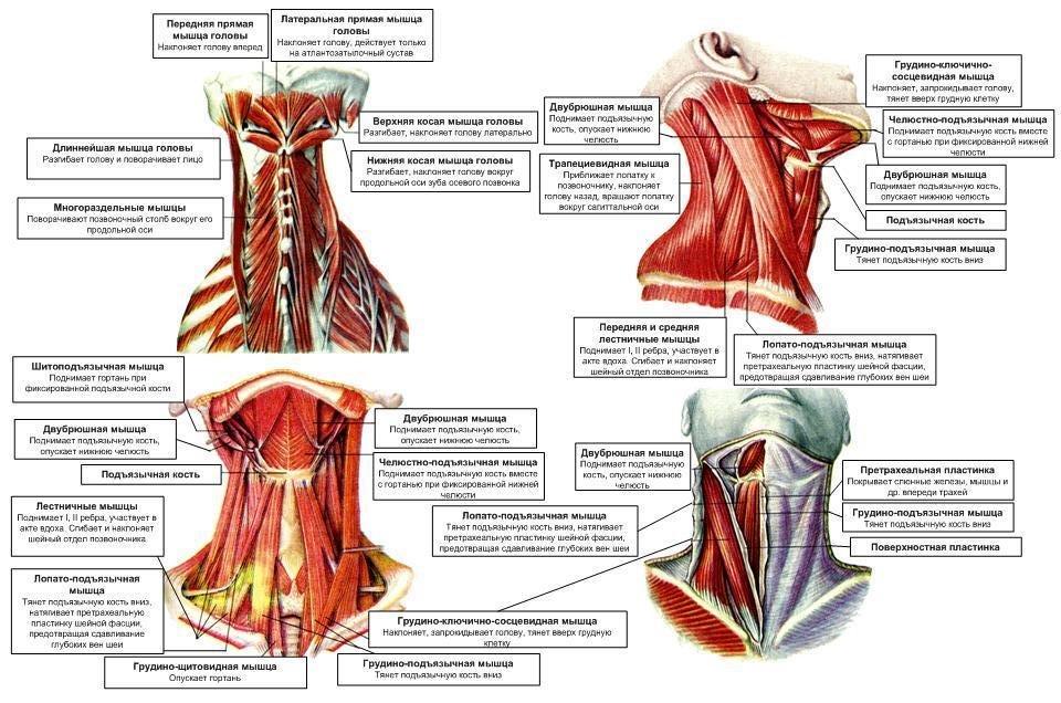 всех мышцы шеи фото с описанием и схемами приехала храм