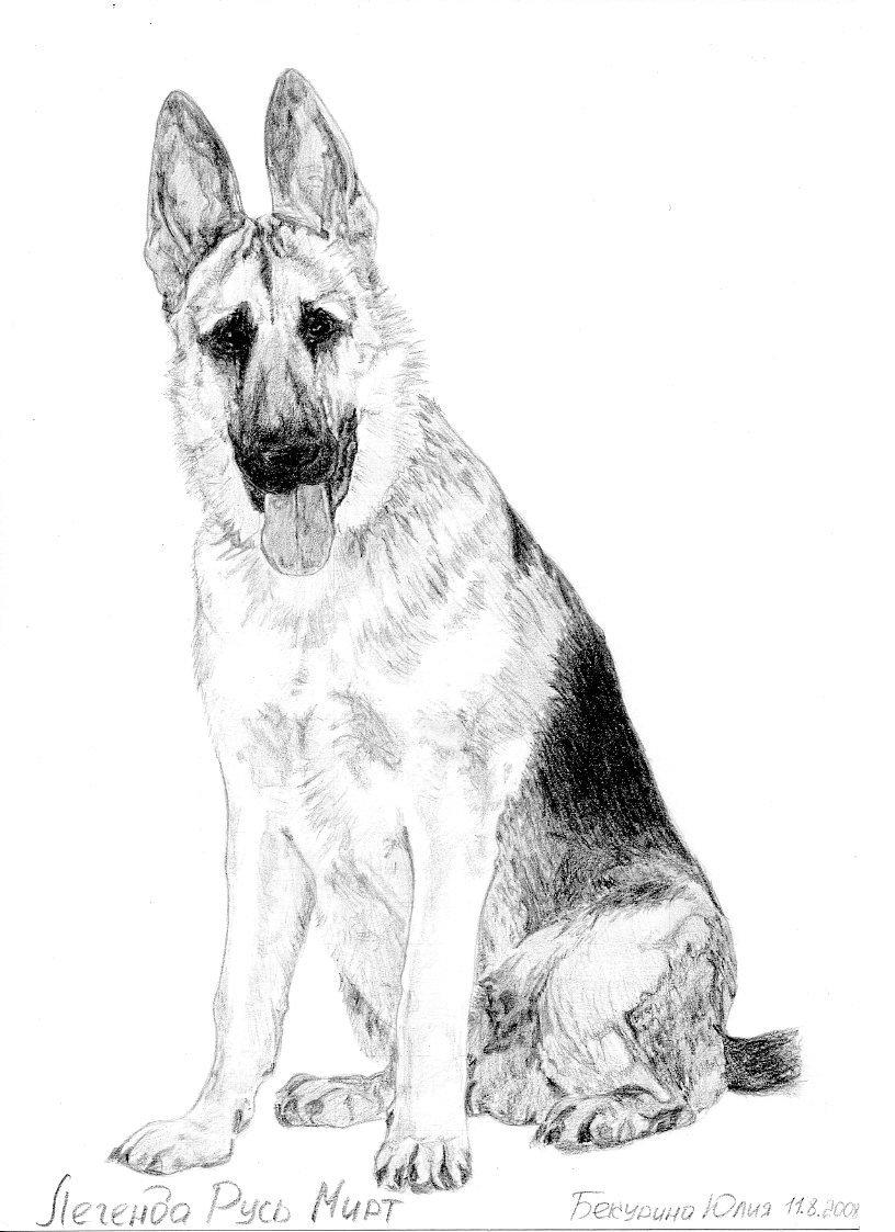 немецкая овчарка раскраска