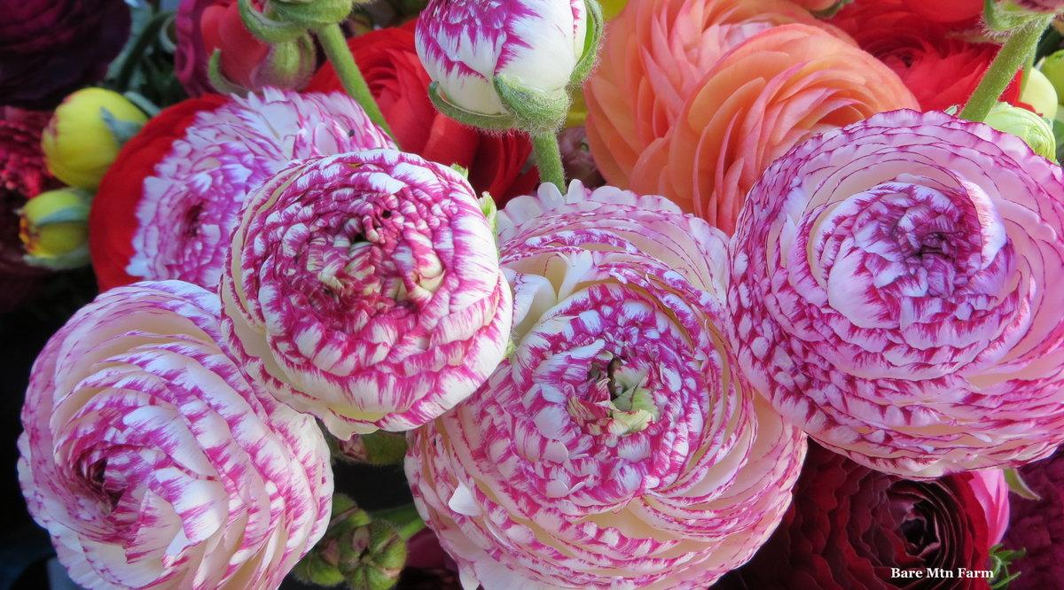 Image Flowers Ranunculus Closeup