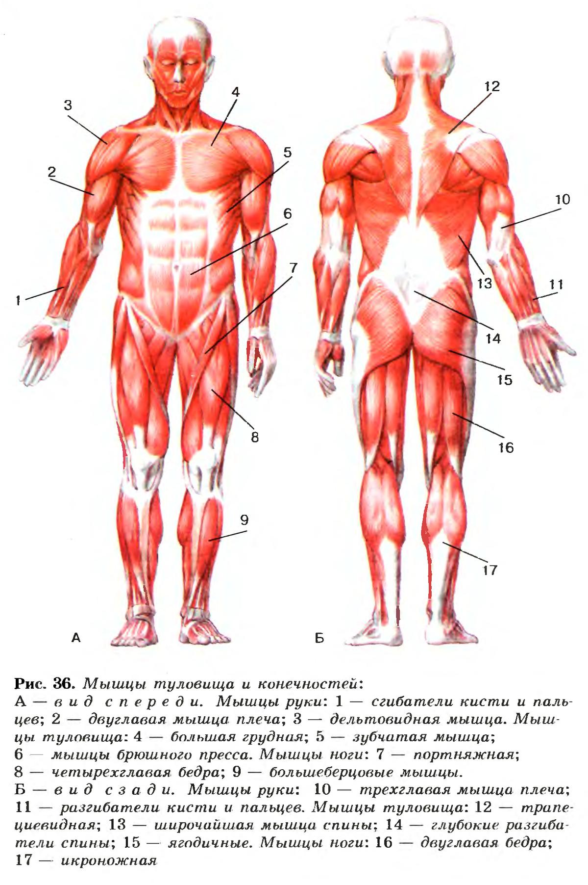Картинки по биологии мышцы человека