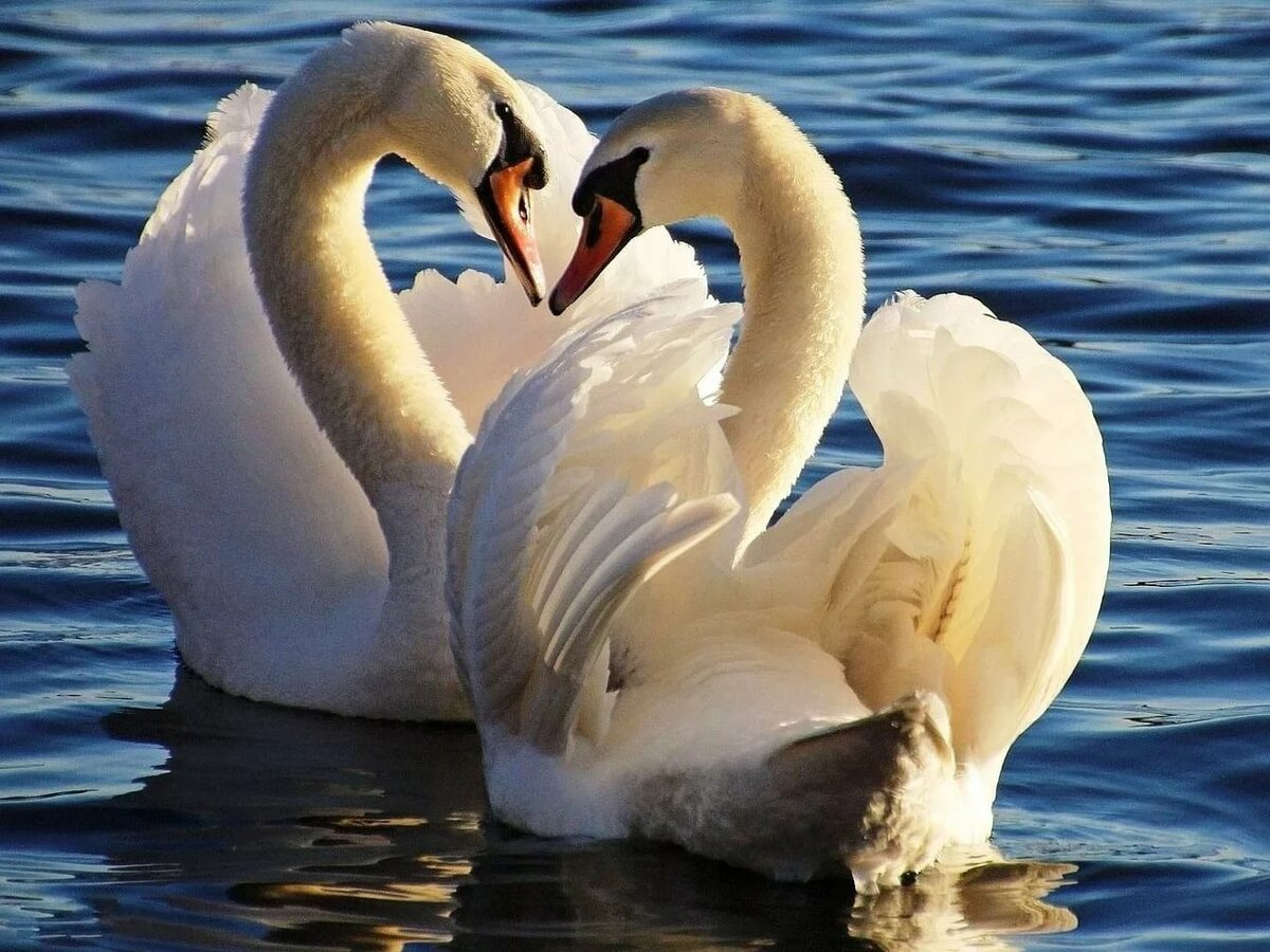 Лебеди в картинках