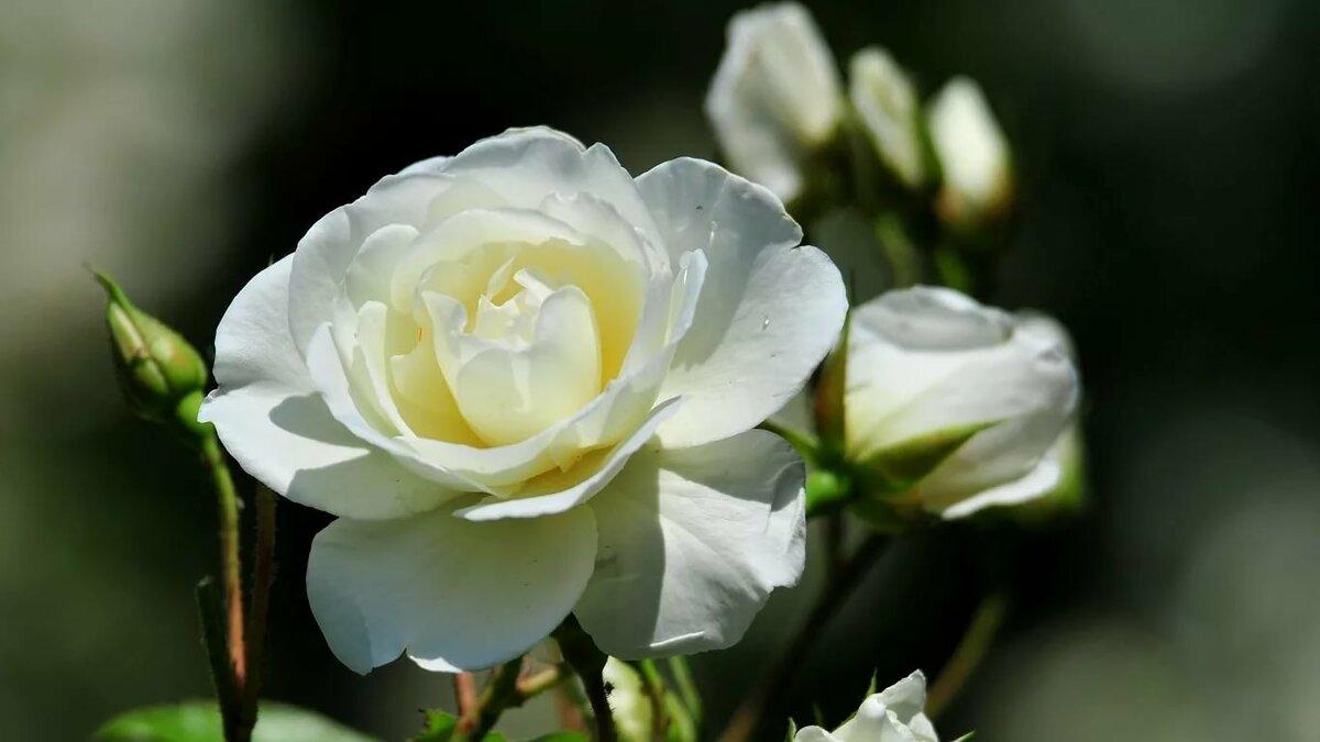 Три белые розы картинки