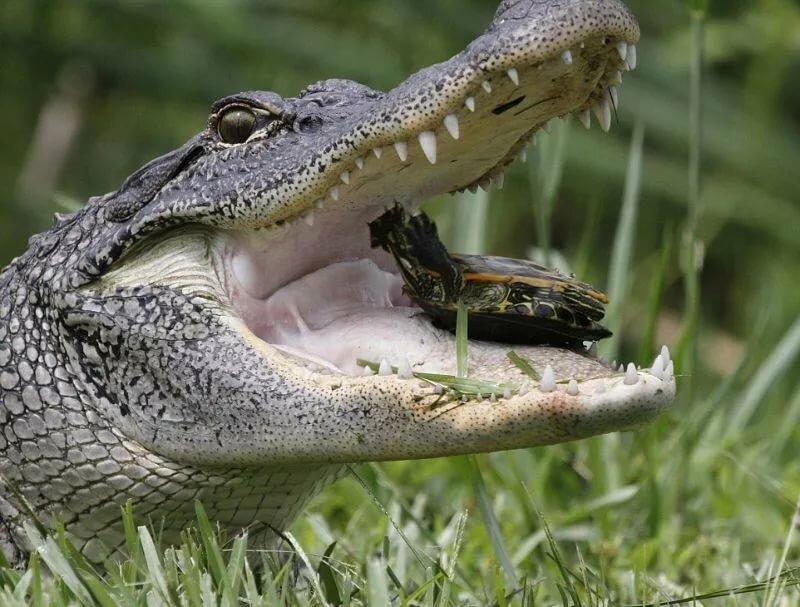 картинки крокодилов и змей моя мама когда-то