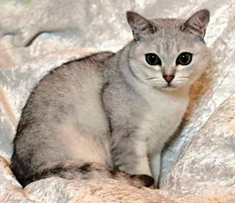 может порода кошек бурмилла короткошерстная картинки вам бесплатно скачать