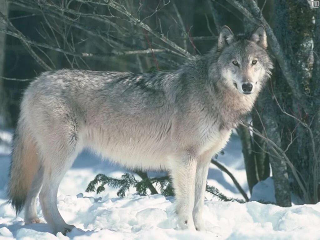 Картинка волк для дошкольников