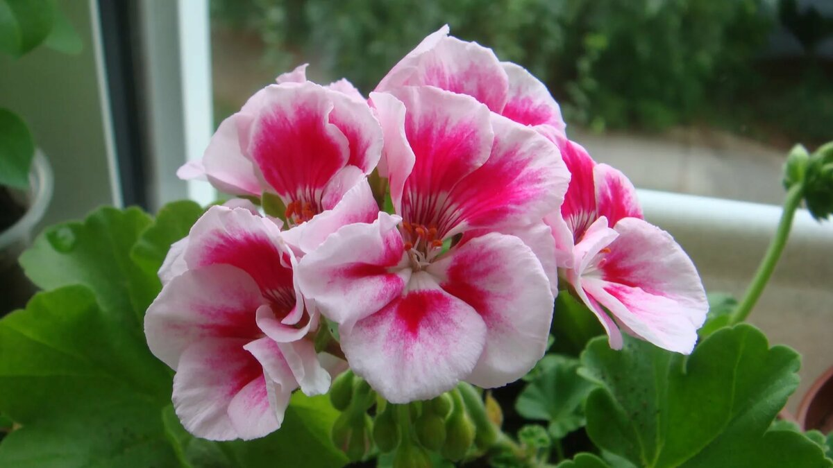Цветы герани картинки разновидности